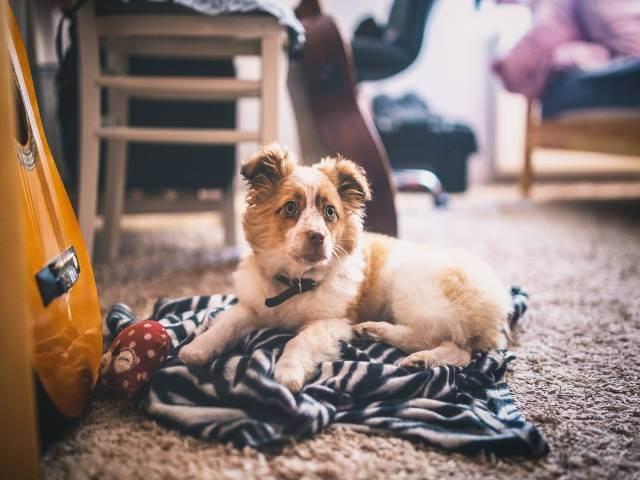 موکت مناسب حیوان خانگی را می شناسید؟ | شرکت زت کارپت