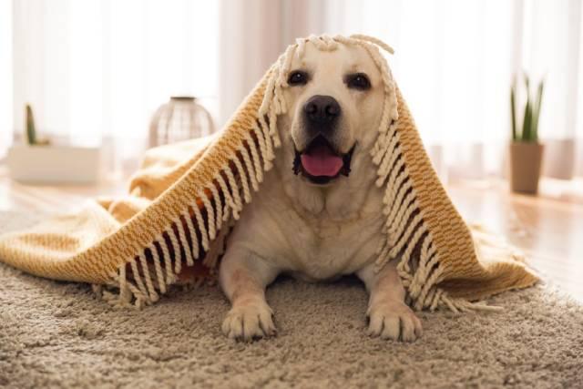 انتخاب موکت مناسب حیوان خانگی | شرکت زت کارپت